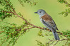 Grey Shrikethrush - Colluricincla harmonica (Walkerville, Vic)