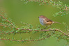 Brown Thornbill - Acanthiza pusilla (Walkerville, Vic)
