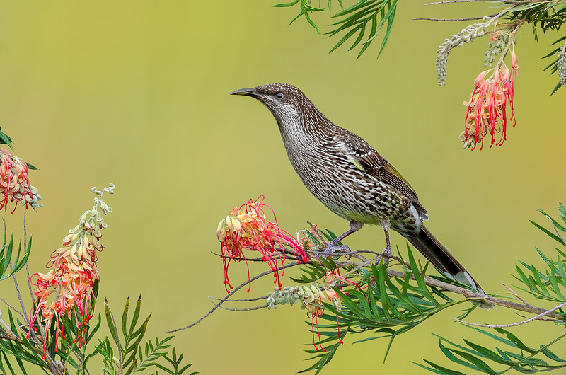 Little Wattlebird - Anthochaera chrysoptera (Surrey Hills, Vic)