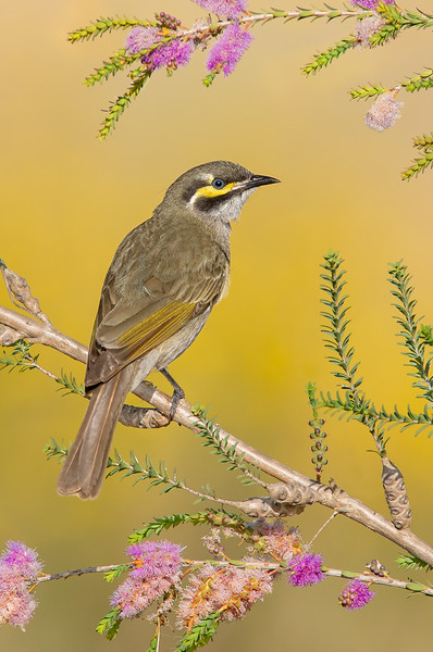 Yellow-faced Honeyeater - Lichenostomus chrysops (Warby Ranges, Victoria)