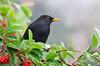 Common Blackbird - Turdus merula (Surrey Hills, Vic)