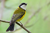 Golden Whistler - Pachycephala pectoralis (m) (Wattle Park, Vic)