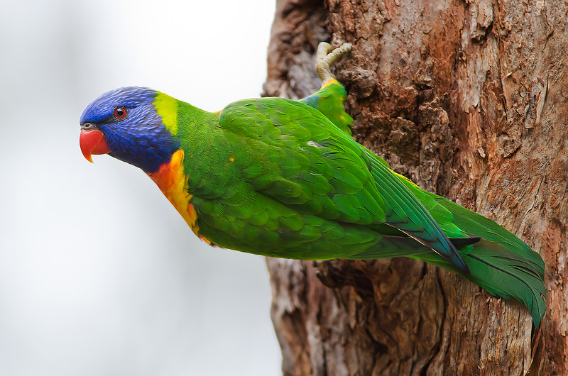 Rainbow Lorikeet - Trichoglossus haematodus (Wattle Park, Vic)