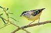 Spotted Pardalote - Pardalotus punctatus (Banyule Flats, Vic)