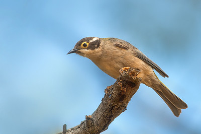 Brown-headed Honeyeater - Melithreptus brevirostris (You Yangs Regional Park, Vic)
