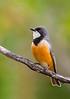 Rufous Whistler - Pachycephala rufiventris (You Yangs Regional Park, Vic)