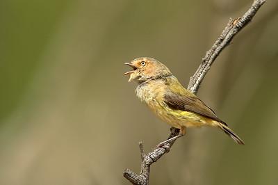Weebill - Smicrornis brevirostris (You Yangs Regional Park, Vic)