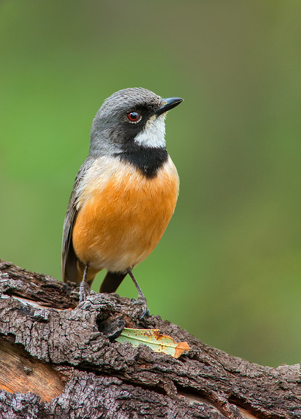 Rufous Whistler - Pachycephala rufiventris (You Yangs Regional Park, Vic)