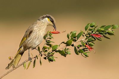 Singing Honeyeater - Lichenostomus virescens (Barham, Vic)