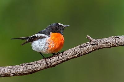 Scarlet Robin - Petroica boodang (You Yangs Regional Park, Vic)