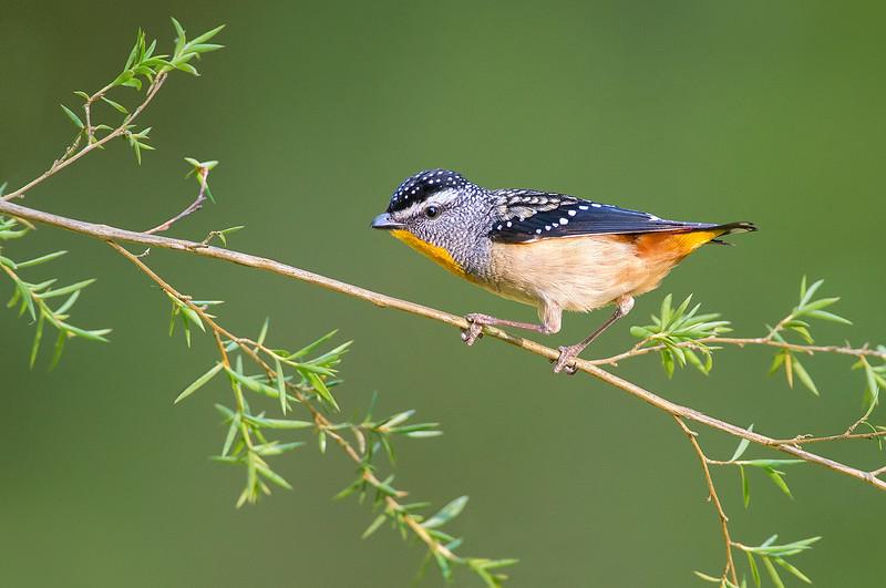 Spotted Pardalote - Pardalotus punctatus (Wattle Park, Vic)