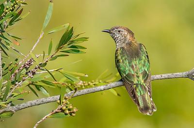Shining Bronze Cuckoo - Chrysococcyx lucidus [race plagosus] (Western Treatment Plant, Vic)