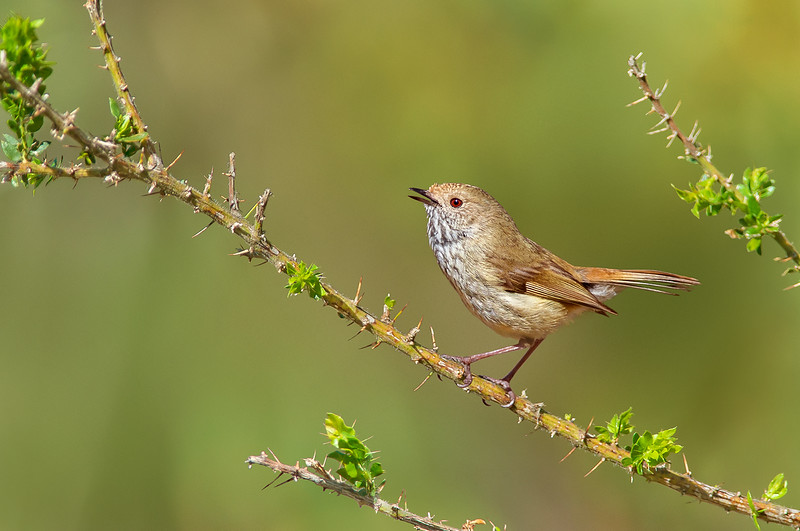 Brown Thornbill - Acanthiza pusilla (You Yangs Regional Park, Vic)