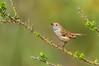 Brown Thornbill - Acanthiza pusilla (You Yangs Regional Park, Vic)