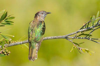 Shining Bronze Cuckoo - Chrysococcyx lucidus [race plagosus] (Western Treatment Plant, Vic)