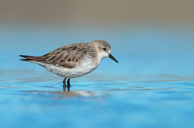 Red-necked Stint - Calidris ruficollis (Western Treatment Plant, Vic)