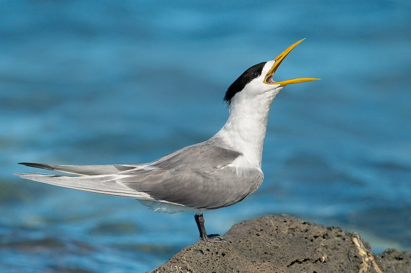Greater Crested Tern - Thalasseus bergii (Western Treatment Plant, Vic)
