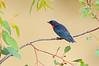 Mistletoebird - Dicaeum hirundinaceum (Inglewood, Victoria)
