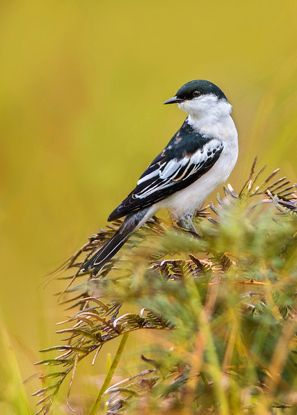 White-winged Triller - Lalage sueurii (m) (Bunyip State Park, Vic)