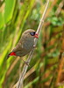 Beautiful Firetail - Stagonopleura bella (Bunyip State Park, Vic)