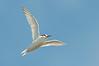 Fairy Tern - Sternula albifrons (Western Treatment Plant, Vic)