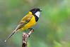 Golden Whistler - Pachycephala pectoralis (Yarra Flats, Vic)