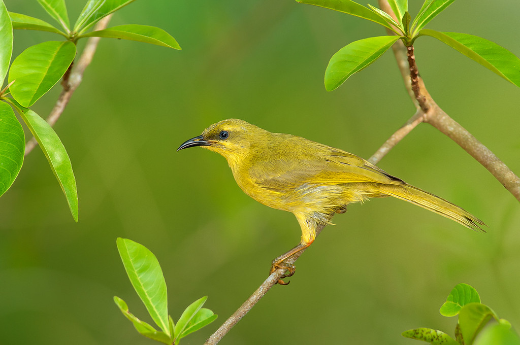 Yellow Honeyeater - Lichenostomus flavus (Catanna Wetlands, Cairns, Qld)