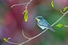 Leaden Flycatcher - Myiagra rubecula (f) Clifton Beach, Qld