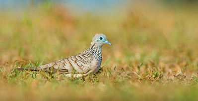Peaceful Dove - Geopelia placida (Clifton Beach, Qld)
