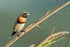 Chestnut-breasted Mannikin - Lonchura castaneothorax (Catanna Wetlands, Cairns, Qld)