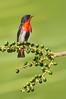 Mistletoebird - Dicaeum hirundinaceum (Clifton Beach, Qld)