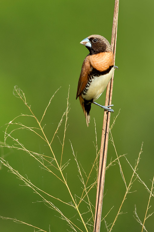 Chestnut-breasted Mannikin - Lonchura castaneothorax (Catanna Wetlands, Cairns, Qld)