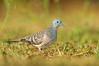Peaceful Dove - Geopelia placida (Clifton Beach, Qld)