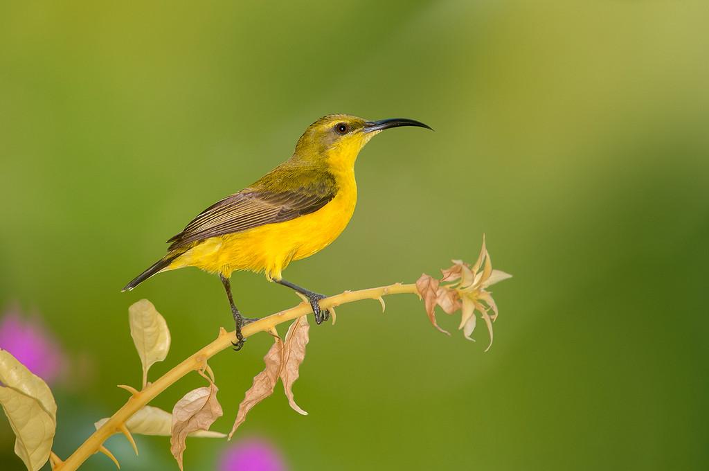 Olive-backed Sunbird - Cinnyris jugularis (f) (Clifton Beach, Qld)