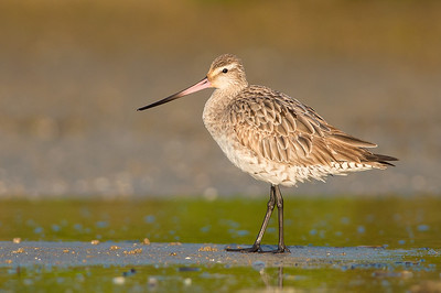 Bar-tailed Godwit - Limosa lapponica (Cairns, Qld)