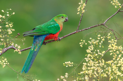 Australian King-Parrot - Alisterus scapularis (m, juv) (Melbourne, Vic)