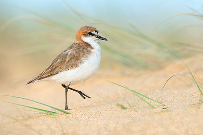 Red-capped Plover - Charadrius ruficapillus (f) (Tathra, NSW)