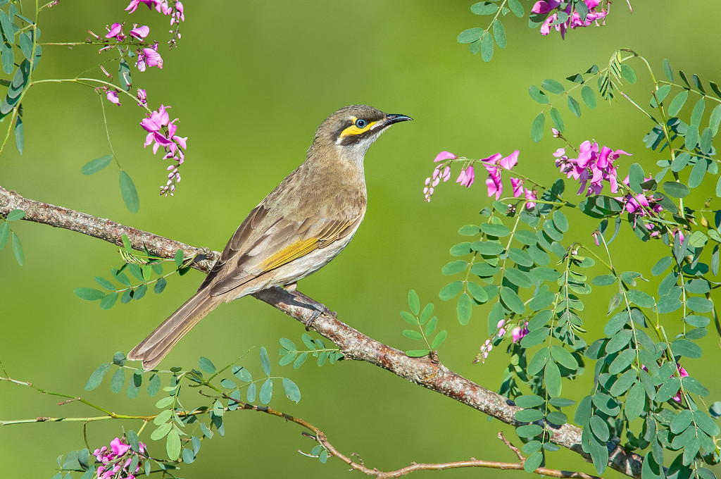 Yellow-faced Honeyeater - Caligavis chrysops (Tathra, NSW)