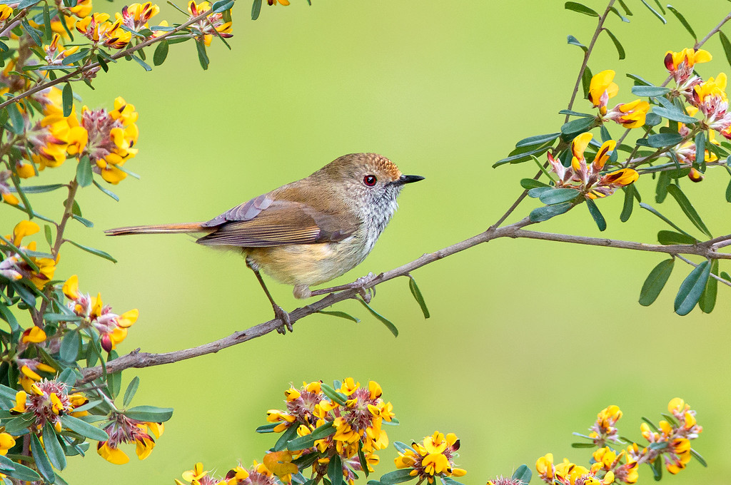 Brown Thornbill - Acanthiza pusilla (Tathra, NSW)