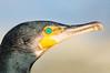 Great Cormorant - Phalacrocorax sulcirostris (Tathra, NSW)