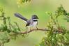 Grey Fantail - Rhipidura albiscapa (Tathra, NSW)