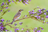 Yellow-faced Honeyeater - Caligavis chrysops (Tathra, NSW)