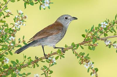 Grey Shrike-thrush – Colluricincla harmonica (Cape Liptrap, Victoria)