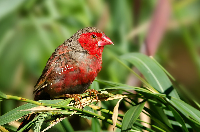 Crimson Finch - Neochmia phaeton phaeton (m) Black-bellied race, (Boodjamulla [Lawn Hill] NP, Qld)