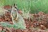 Purple-necked Rock-wallaby - Petrogale purpureicollis (Chinaman Creek Dam, Cloncurry, Qld)