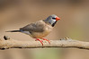 Long-tailed Finch - Peophila acuticauda hecki - red-billed race (Boodjamulla [Lawn Hill] NP, Qld)