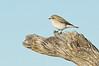 Jacky Winter - Microeca fascinans (race pallida), (Bladensburg NP, Qld)
