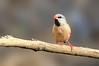 Long-tailed Finch - Peophila acuticauda hecki - red-billed race (Boodjamulla [Lawn Hill] NP, Qld)