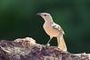 Great Bowerbird - Ptilonorhyncus nuchalis orientalis (f) (Boodjamulla NP [Lawn Hill], Qld)