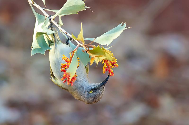 Brown Honeyeater - Lichmera indistincta ocularis (Boodjamulla Np [Lawn Hill], Qld)